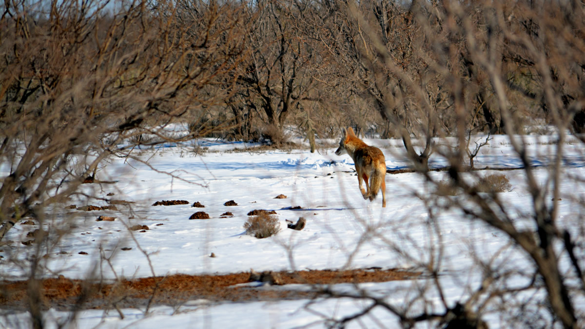 A coyote in the not often seen snow in Reagan County, Texas.