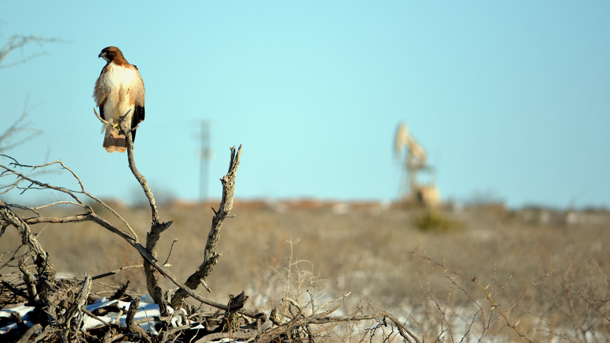 A hawk surveys the field in Reagan County, Texas.